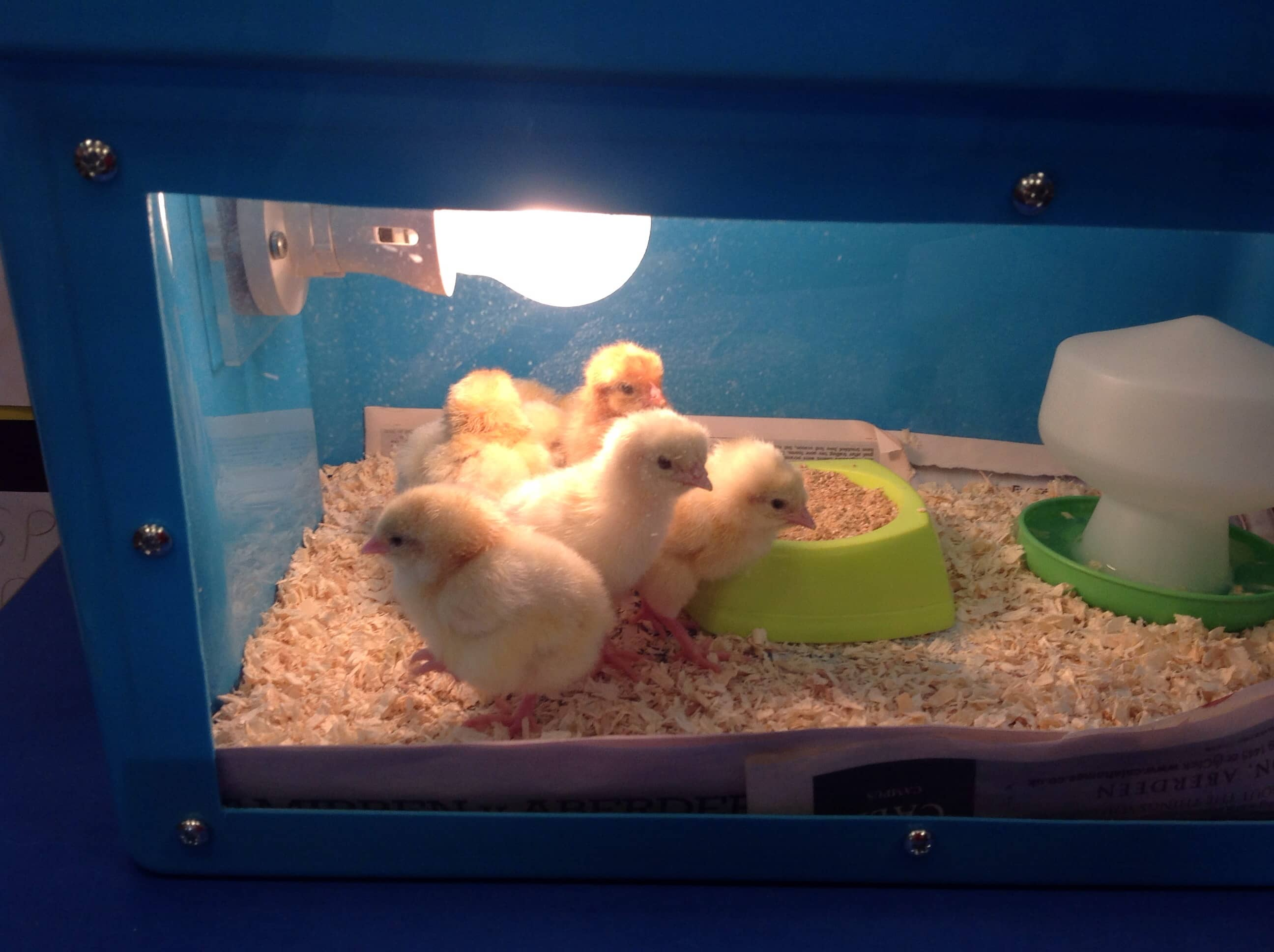 The cutest chicks in town!